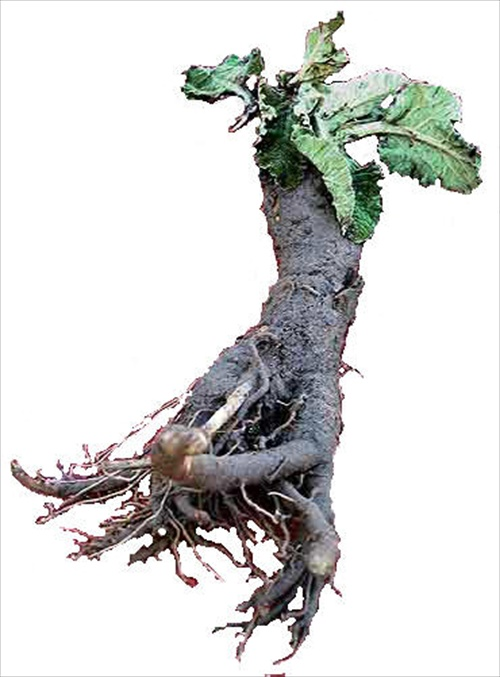 Great Burdock Root Extract