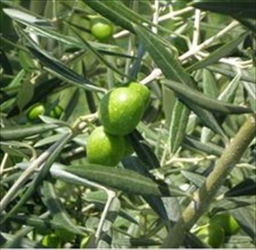 article-page-main-ehow-images-a05-r2-ho-homemade-olive-leaf-extract-800x800